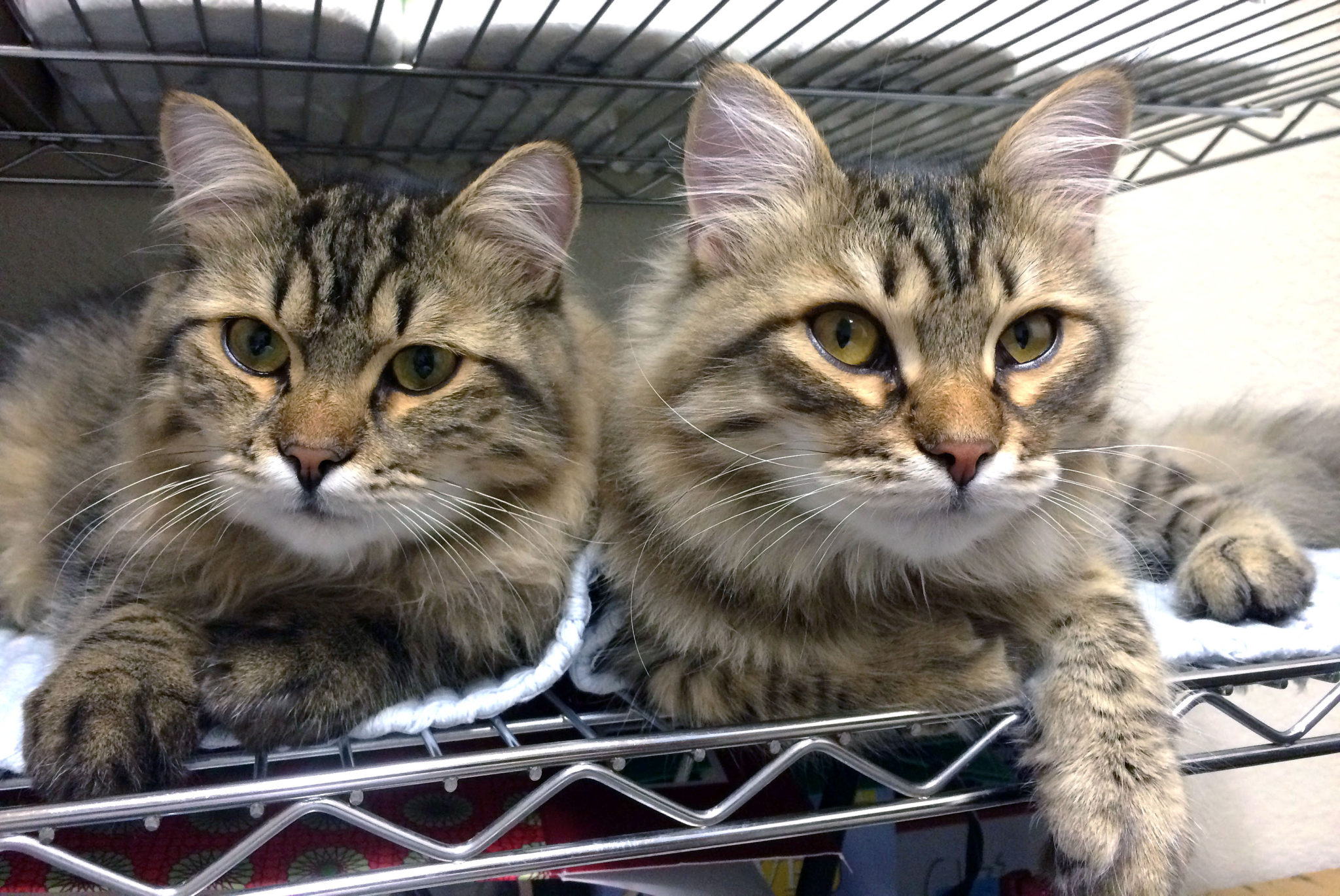 2 brothers/Siberian cats on a shelf