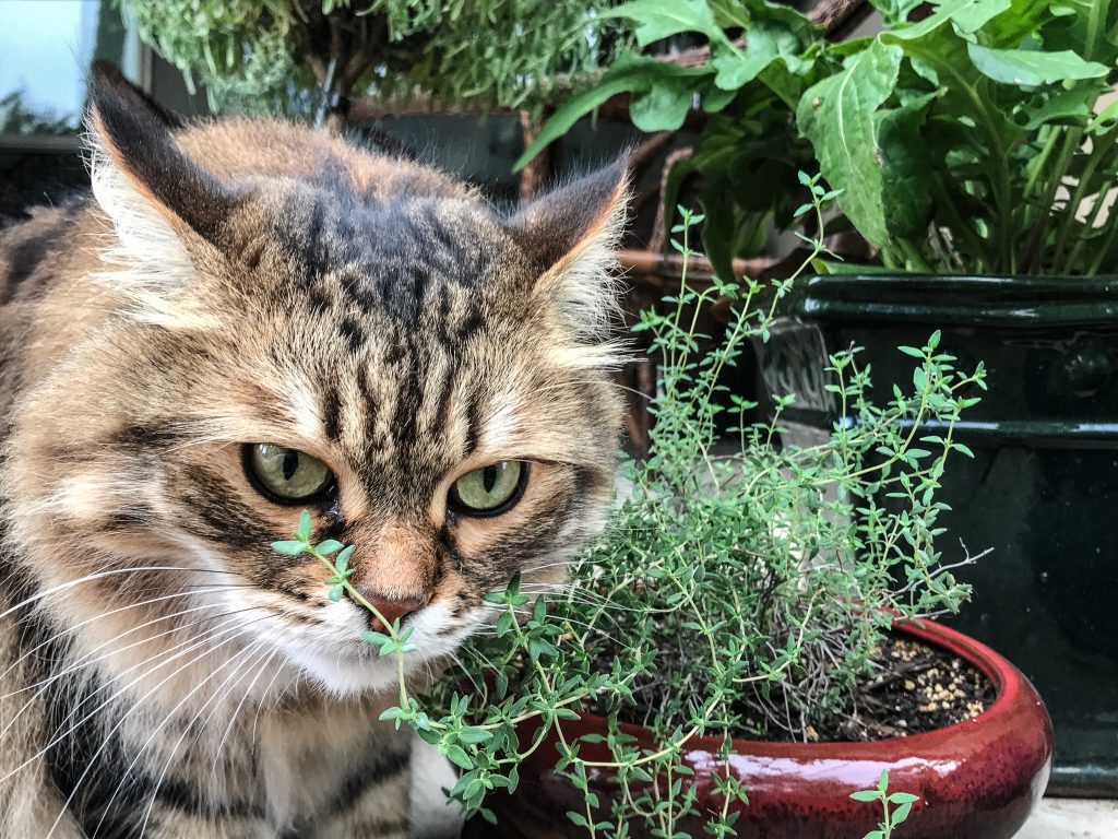 Cat standing by thyme plant