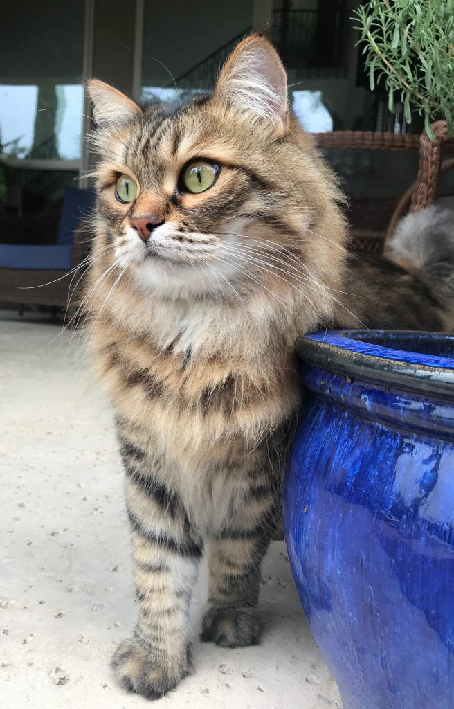 Siberian Russian cat by potted plant